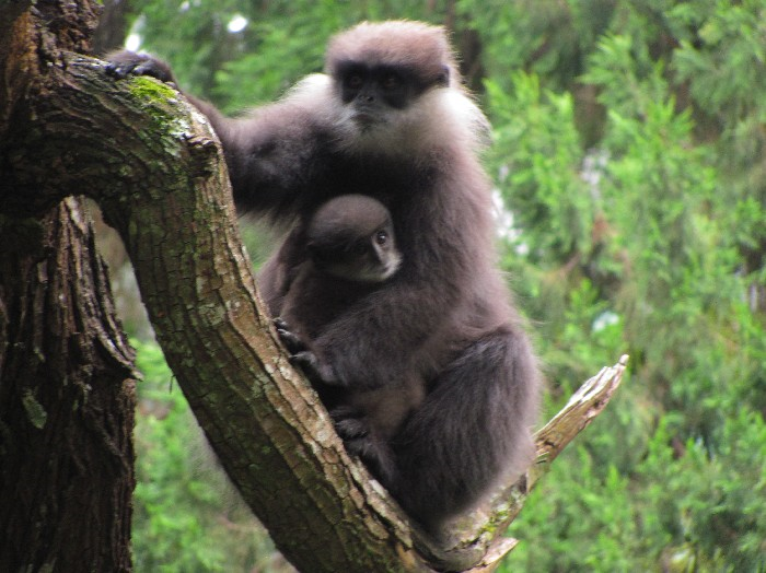 A purple faced langur with its baby